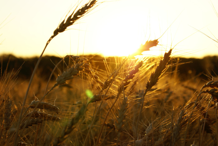 13. Finally, there's our golden fields of wheat...