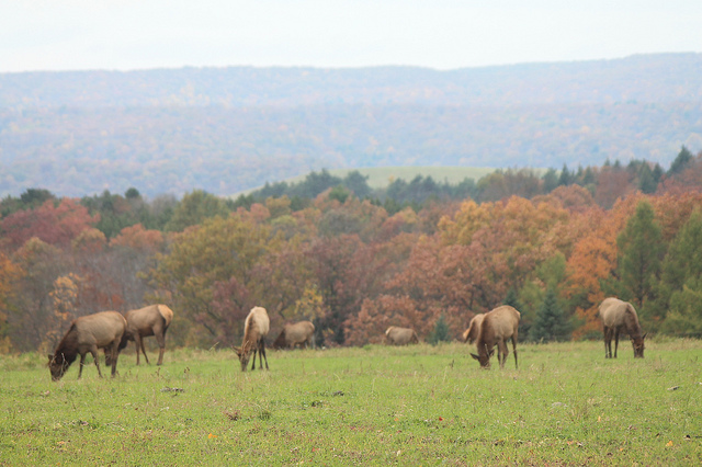 9. The Elk in Allegheny National Forest, Benzette
