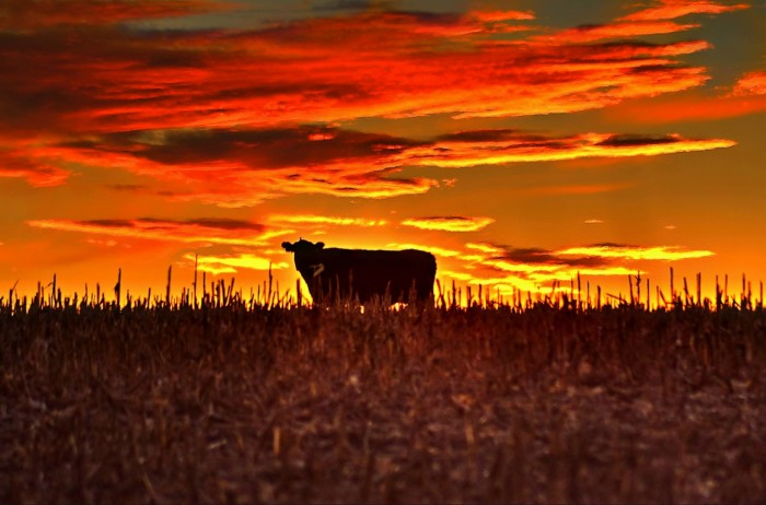 4. What would the Nebraska skyline be without the occasional cow here and there?