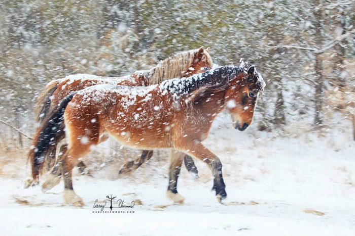 3. The Wild Mustangs of Carova prancing in the snow. Now that's magic!