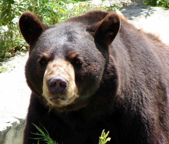 6. The American Black Bear