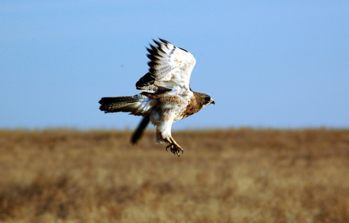 5. Or this Swainson's Hawk seen soaring over grasslands near Moffit, ND