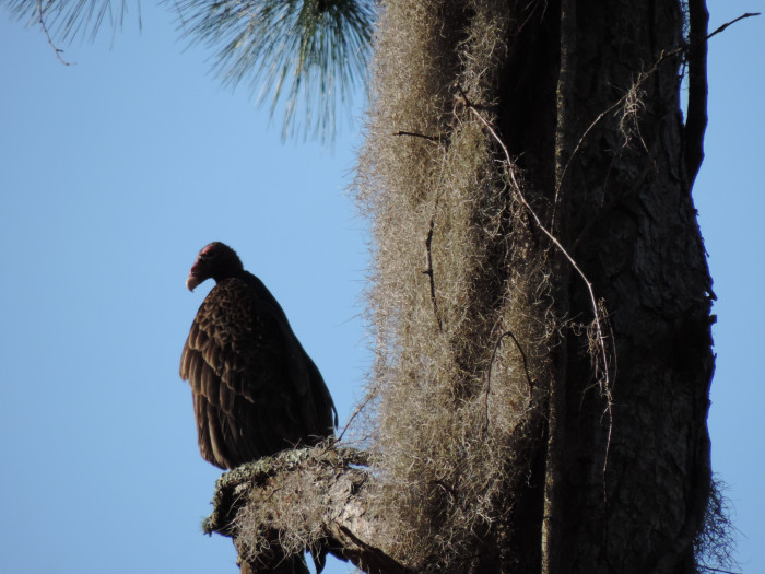 A nested vulture waiting for prey.