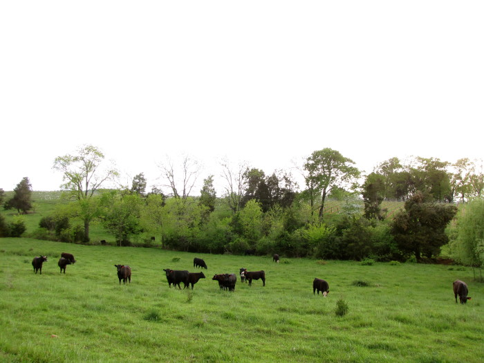 2. Peaceful cattle in Barboursville