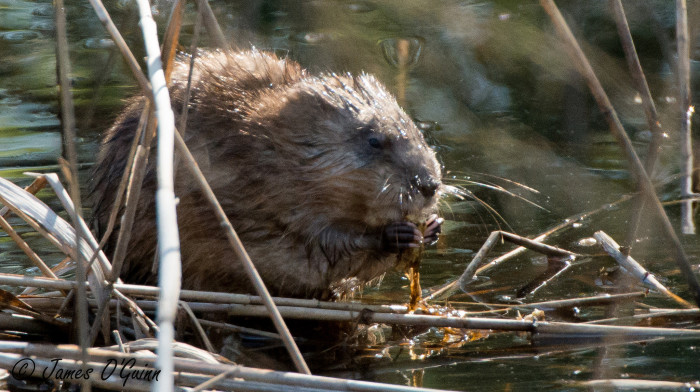 4. Eat muskrat, or at least know where it is served.