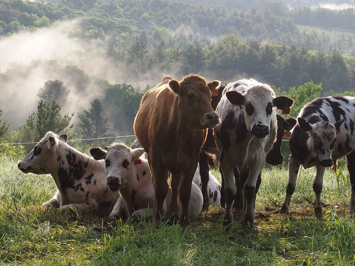 14.  The cows certainly enjoy the peace and quiet of the rural countryside.