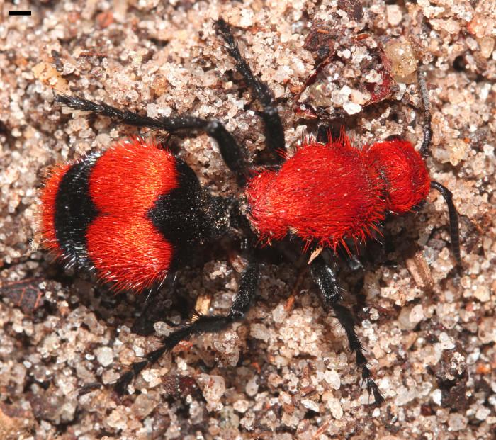7. Cow Killer Ant