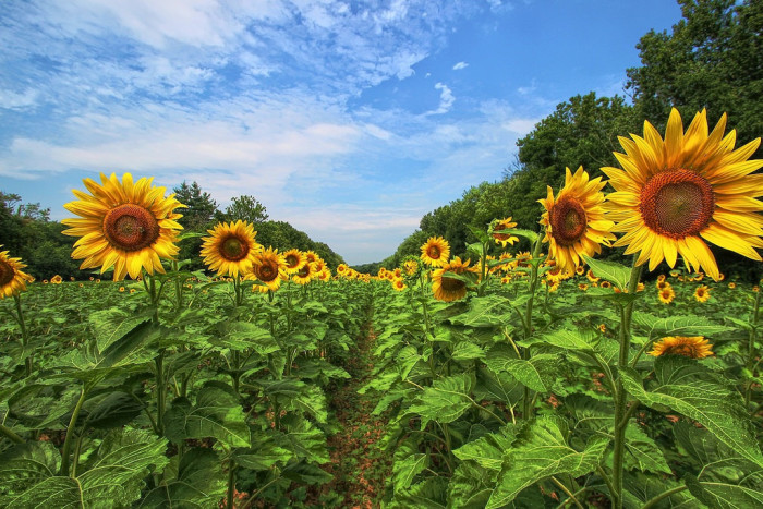 1. Propose among the sunflowers at McKee Beshers Wildlife Management Area.