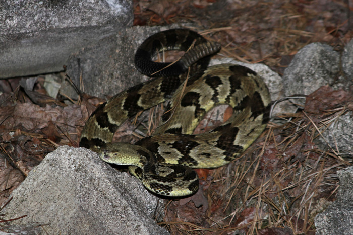 6. Timber Rattlesnake