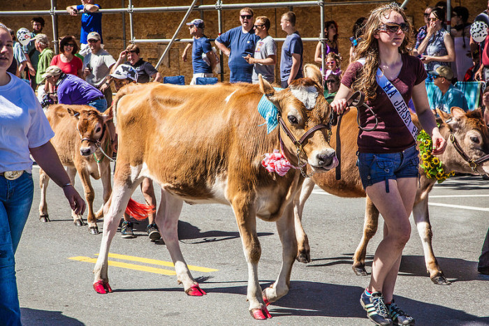 The Strolling of the Heifers parade.