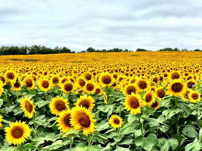 2. And those horrid, sun-shiny fields of sunflowers? Kansas ranks fourth in sunflower production.