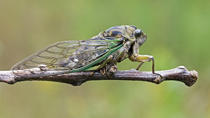 Cicadas are fascinating creatures, and (thankfully) should only be around for six weeks or so.