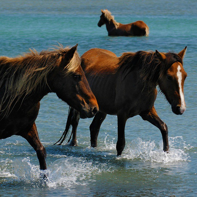 15. Wild horses taking a dip at Cape Lookout.