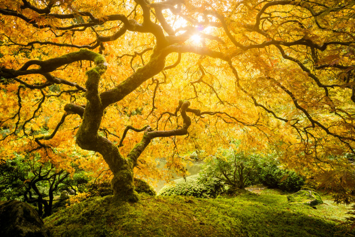 2. The sun setting in the golden leaves of a magnificent maple tree: