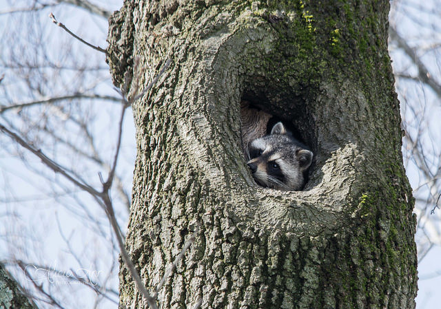 6. This snoozing raccoon is sure to make you smile.