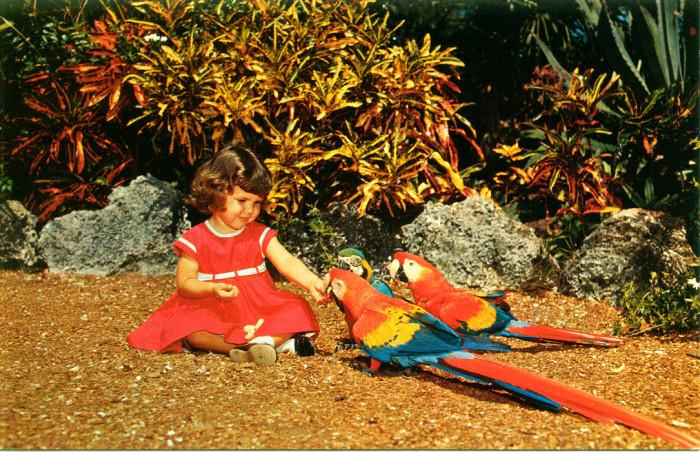 "18. ""Girl feeding parrots, Parrot Jungle, Miami"""