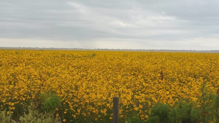 "19 A ""sea of swamp sunflowers"" near Ortona"