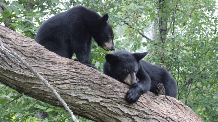 11. At the Vince Shute Wildlife Sanctuary, one bear seems to have no respect for his friend's nap time. Either that, or he really wanted to give this visitor a fun photo-op.