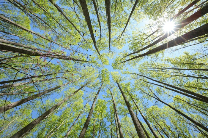 13. A canopy of poplar trees