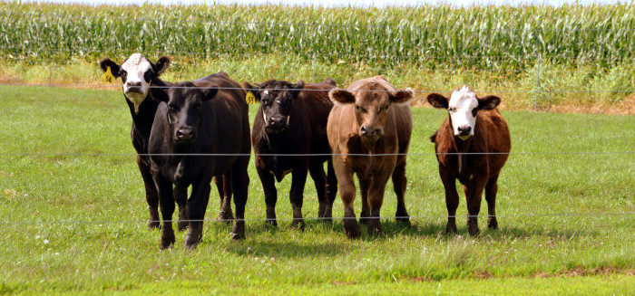 5. This is a great shot of cows in Geneseo.