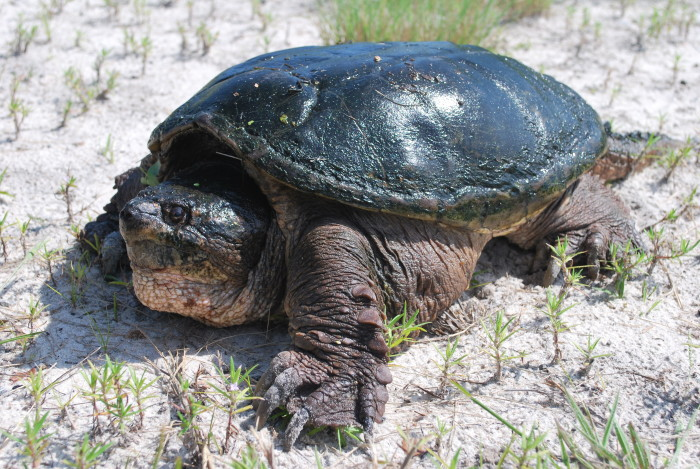 9. Snapping turtles