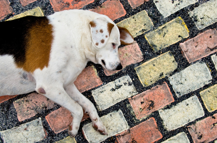 """A dog lying on the """"brick"""" road leading to the castle."""