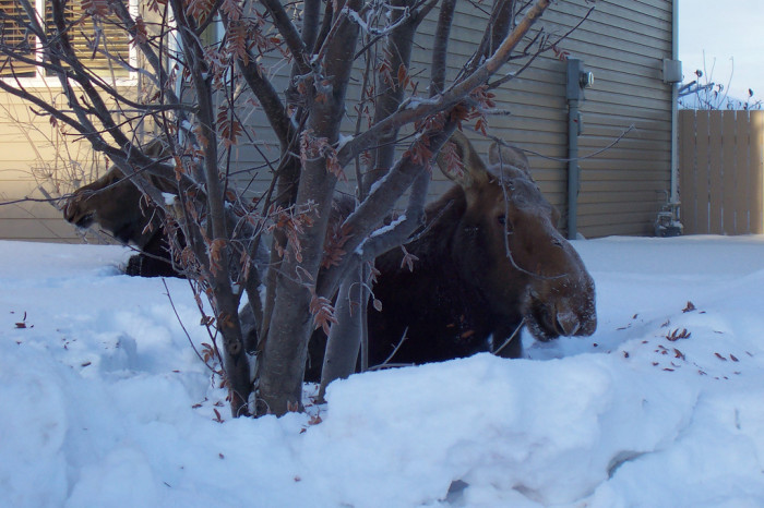 8) We've pretty much all had moose in our front yard... and walking down the streets.