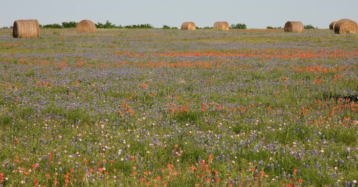 3. Our state is one abundant with wildflowers. Viewing them on the side of the highway out in the country is an unforgettable experience. (Lavaca County)