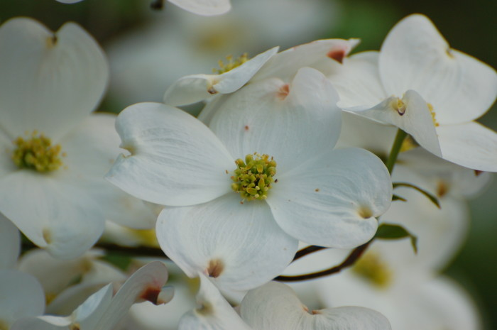 9. You know that Dogwoods are sacred.
