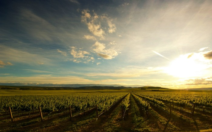 8. A mesmerizing view over vineyards near Dallas Road in the Tri-Cities area.