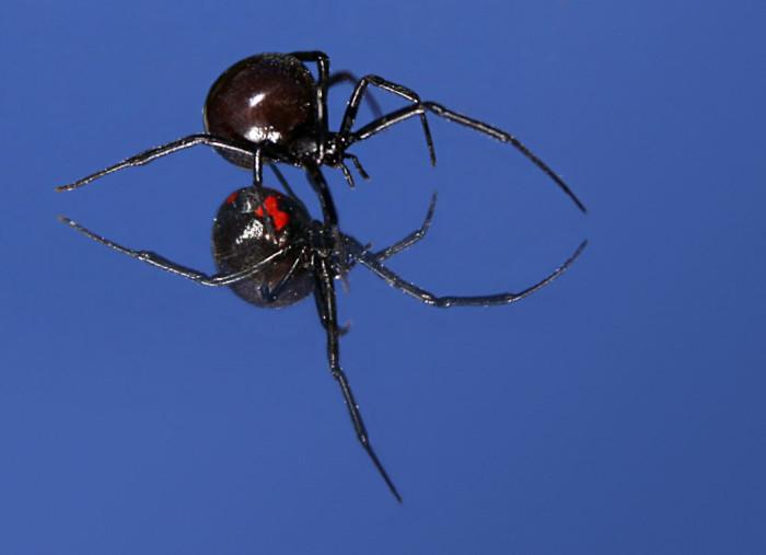 5. Black widow spider