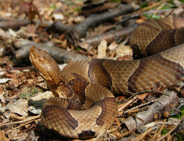 2. Northern Copperhead