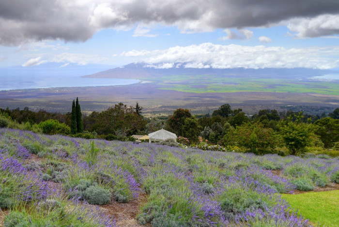 3) The Kula Lavendar Farm would be an idyllic setting for a romantic flick.