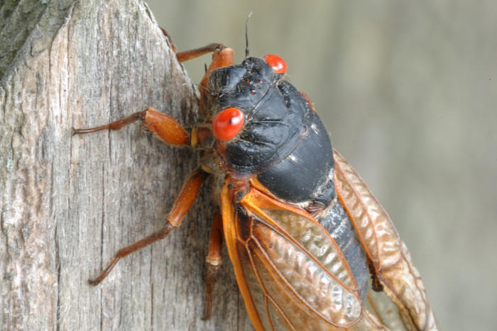 This is what the typical cicada looks like. Its beady red eyes are unsettling to most.
