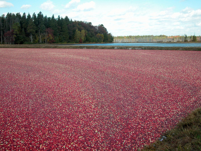 14. New Jersey's famous Pine Barrens cranberry bogs.