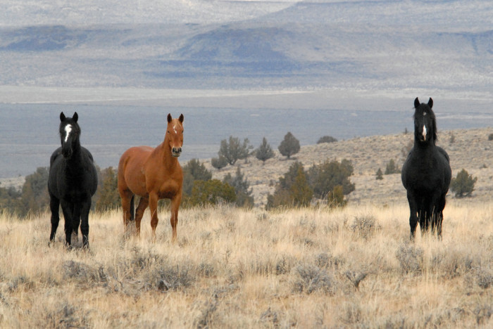 11. Wild horses in the Steens Mountains: