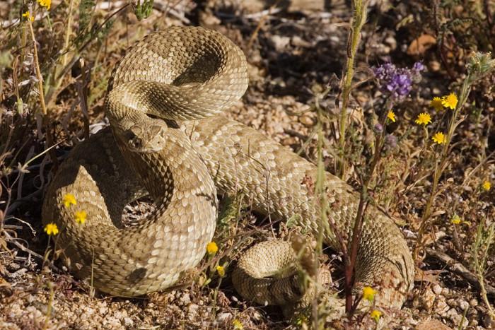 10. Mohave rattlesnake