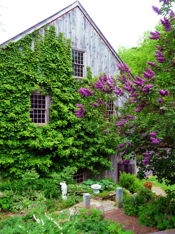 3. The lilacs and ivy make this barn pop.