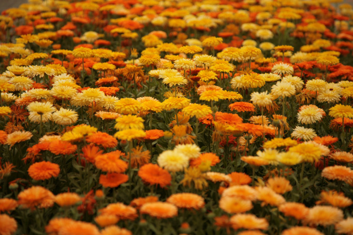 7. Marigolds at Sungold Farms in Forest Grove: