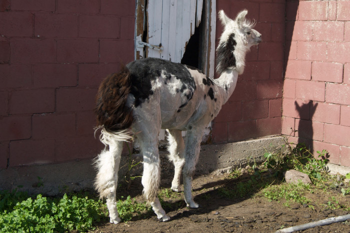 5. Meet Catazo the freshly sheared llama. Did we mention he doesn't like people getting close to his head?
