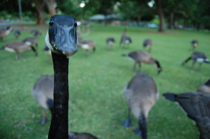 10. Angry Geese