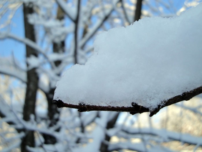 9. Snow resting on Maple trees is so New Hampshire.