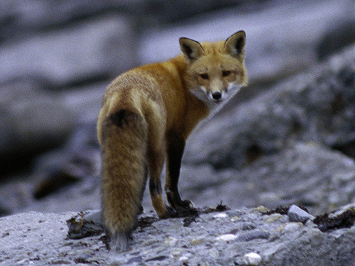 2. This red fox was photographed at Sachuest Point National Wildlife Refuge.
