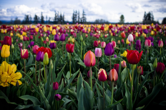 13. The magical Wooden Shoe Tulip Farm in Woodburn: