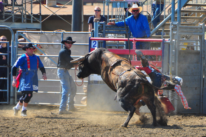3. Meeting a bull face-to-face is just as terrifying in a rodeo ring as it is back at the ranch.