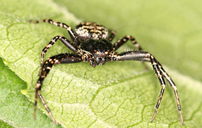 1. Bark Crab Spider