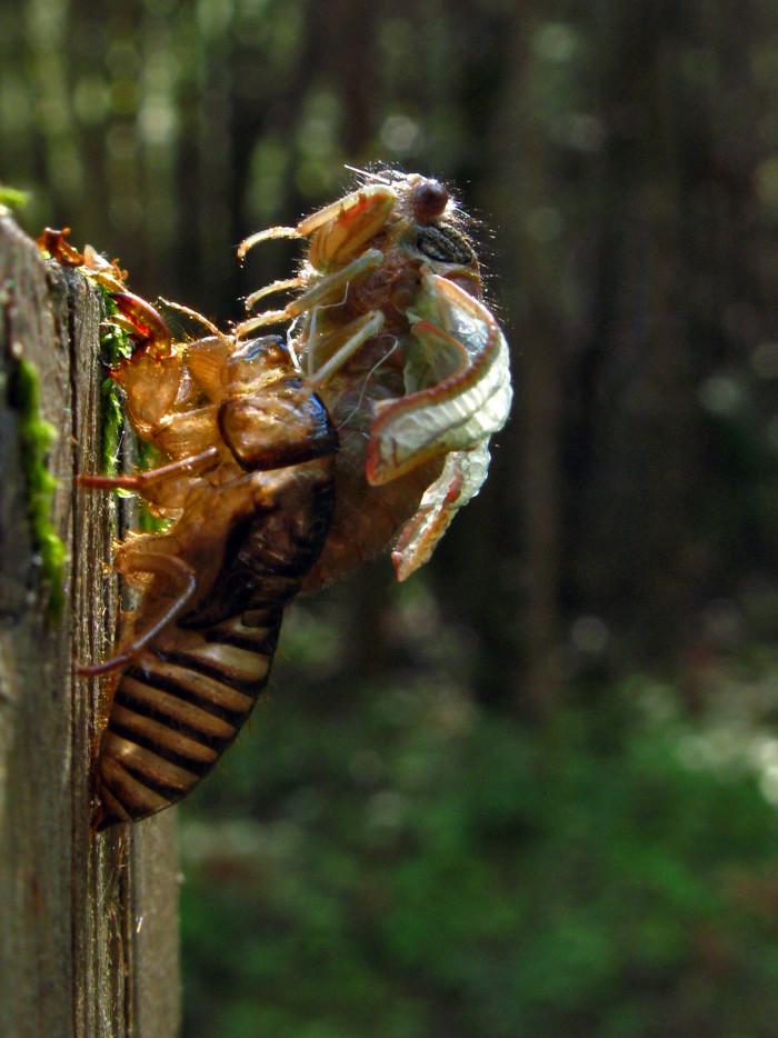 Cicadas shedding their skin is both mesmerizing and terrifying.