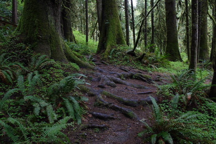 8. Quinault Rainforest, Olympic National Park