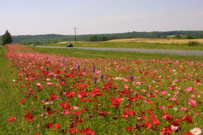 4. Wildflowers scattered along the median of Route 29 near Ruckersville