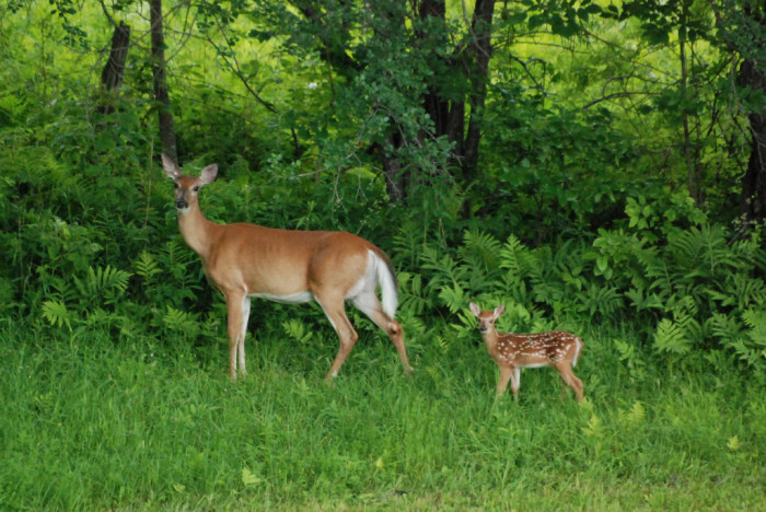 12.  White tail deer mother and baby spotted on West Road in Putney.